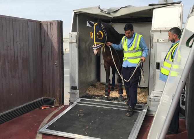 Turkish Cargo Dubai World Cup'ta Yarışacak Atları Taşıdı